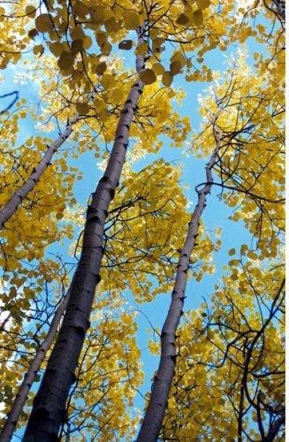 осина осенью дерево фото