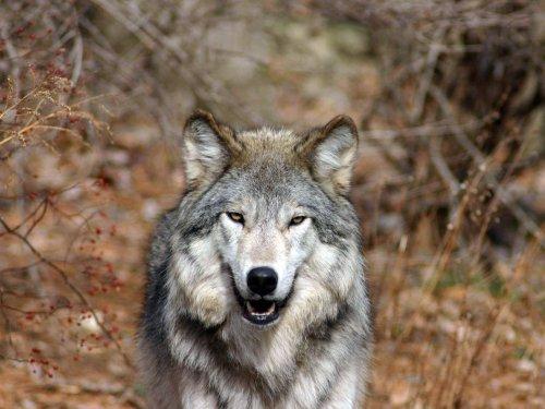 Волки [фото]