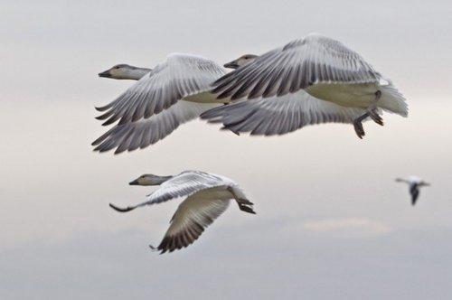Гуси-лебеди летели