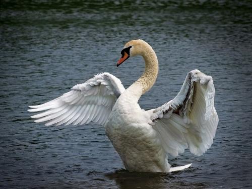 Лебеди [фото]