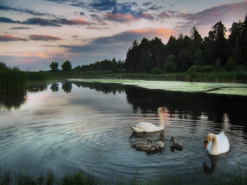 Фотограф Игорь Денисов - Лебеди