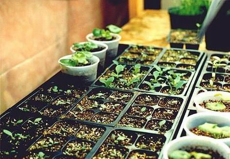 Доморощенные семена