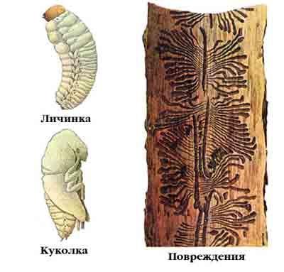 фото личинки шершня