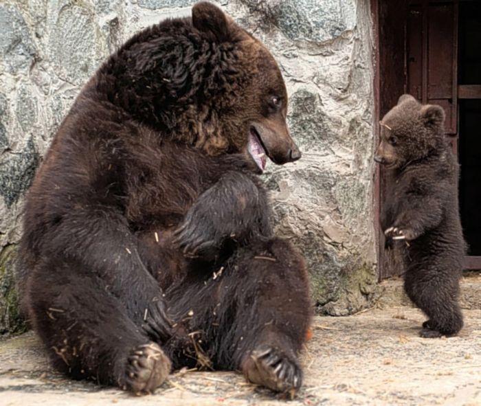 Воспитание по-медвежьи