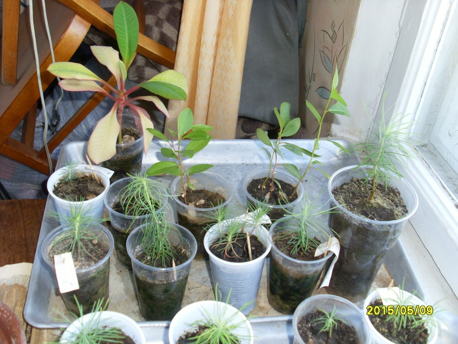 Выращивание лиственницу в домашних условиях