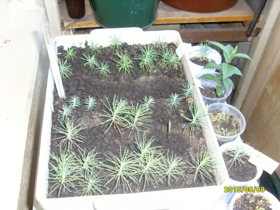Как вырастить из семян лиственницу в домашних условиях
