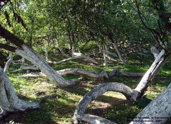 Чудо Сумщины - яблоня - колония