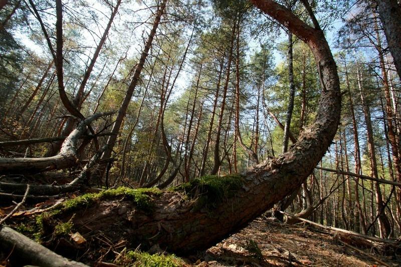 Россия тайга / леса умеренного пояса   явления природы Пьяный лес