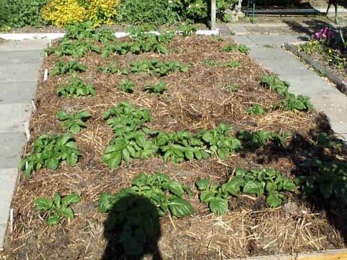 Выращивание картофеля под сеном и соломой 478