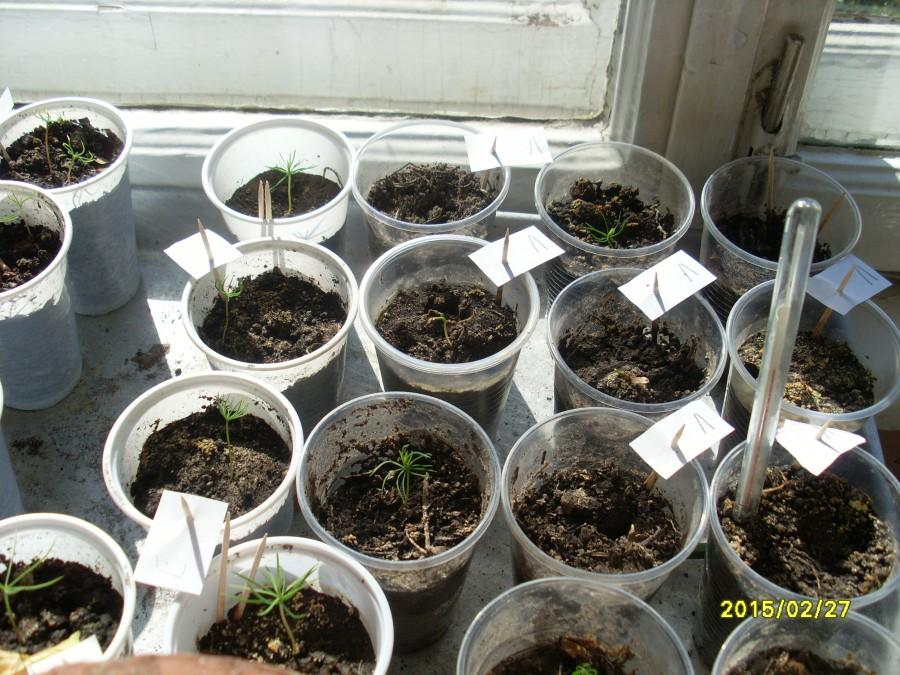 Как вырастить хвойники из семян в домашних условиях