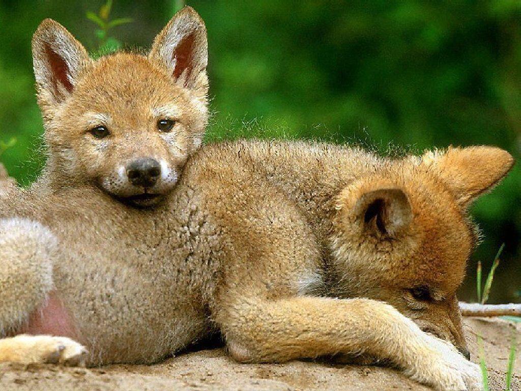 мясные волчонок фото животного пытался играть
