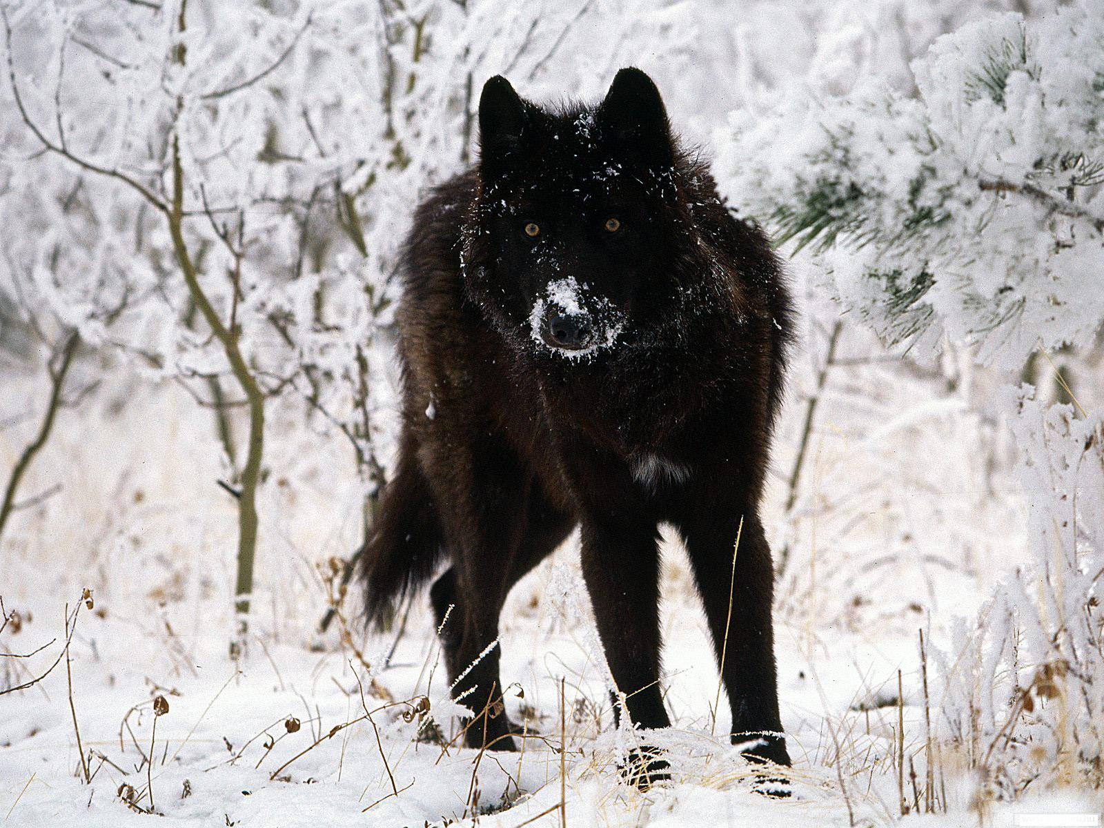 специально черные волки картинки фото что