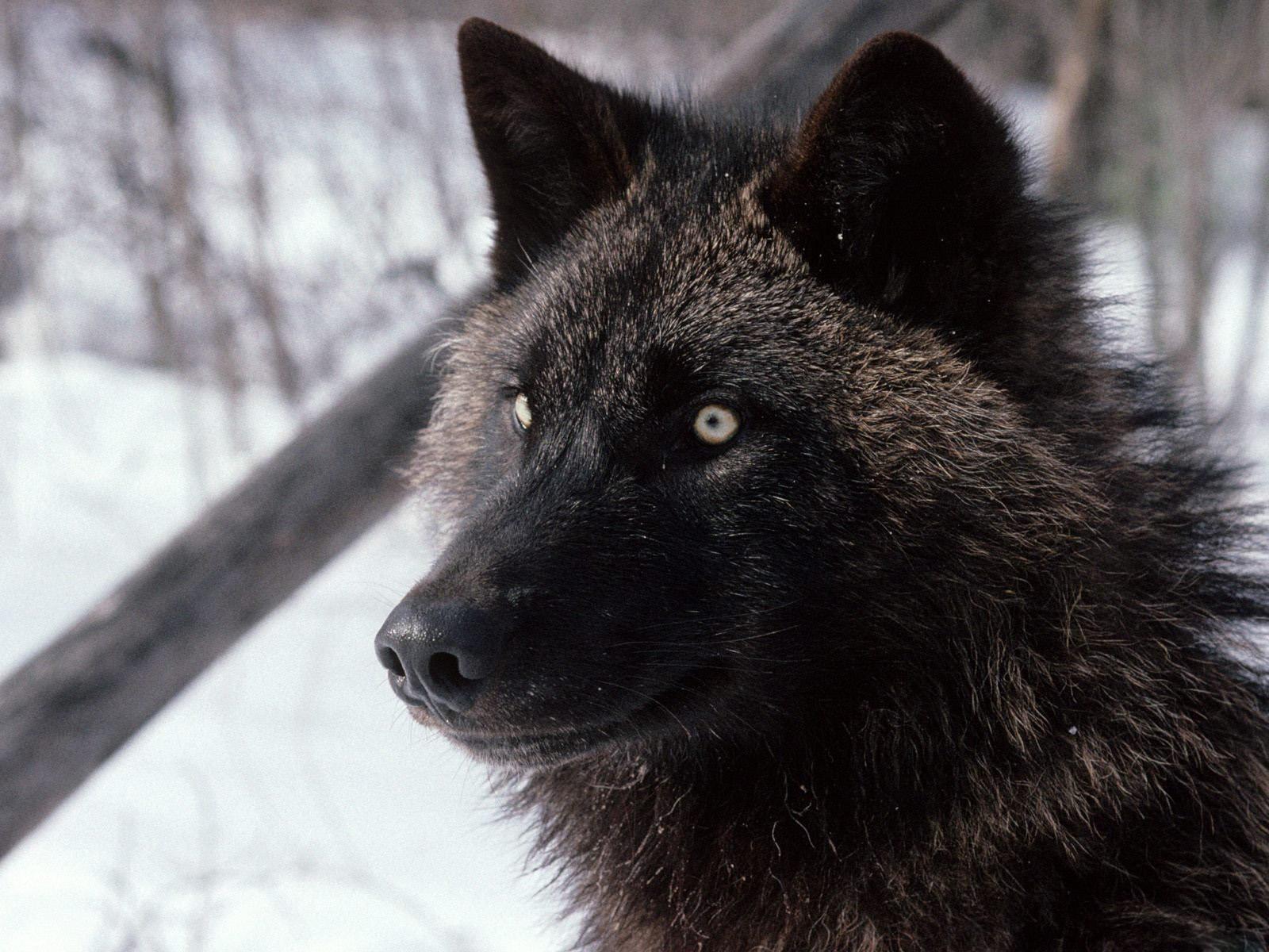 есть подробное смотреть фотографии черного волка крыльце сидели