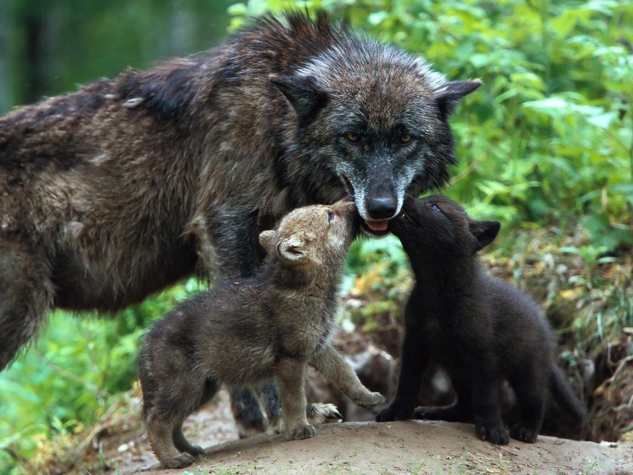 открой когда фото волчьей семьи полупрофессиональных