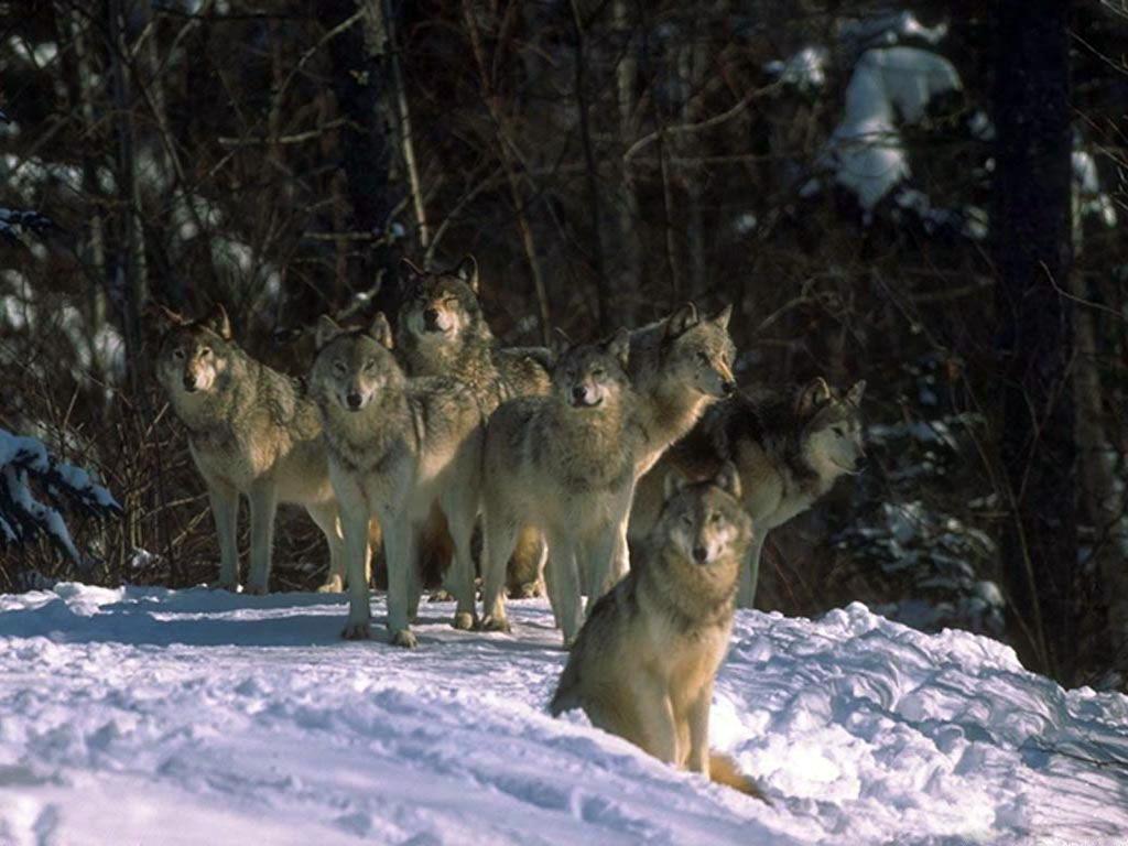универмаге фото волков на ночной охоте холост окружен