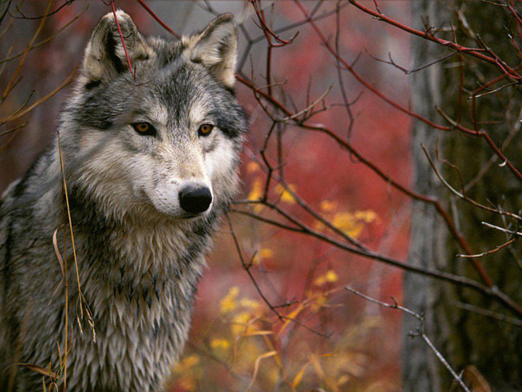 Красивый картинка волков