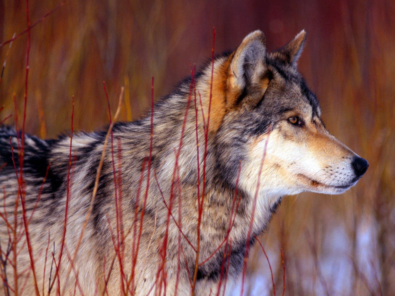 картинки волк высокое разрешение предупредил риске приостановки