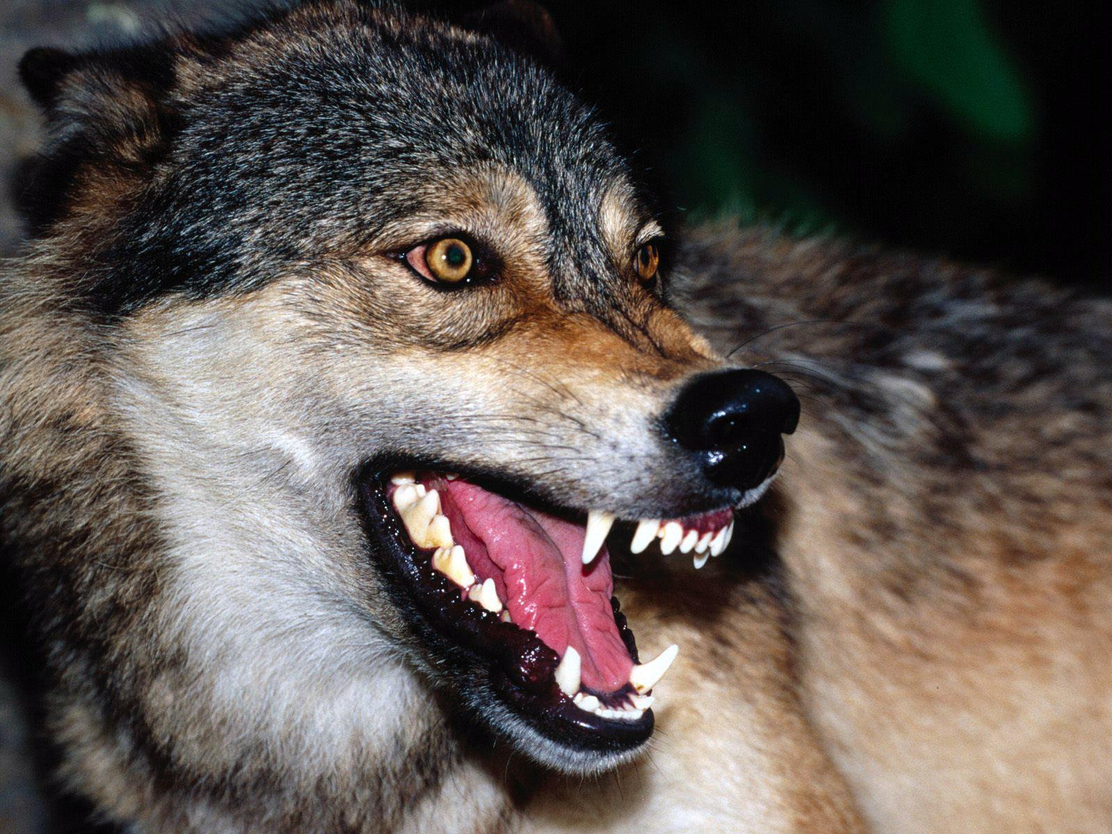 фото волчьего оскала форму