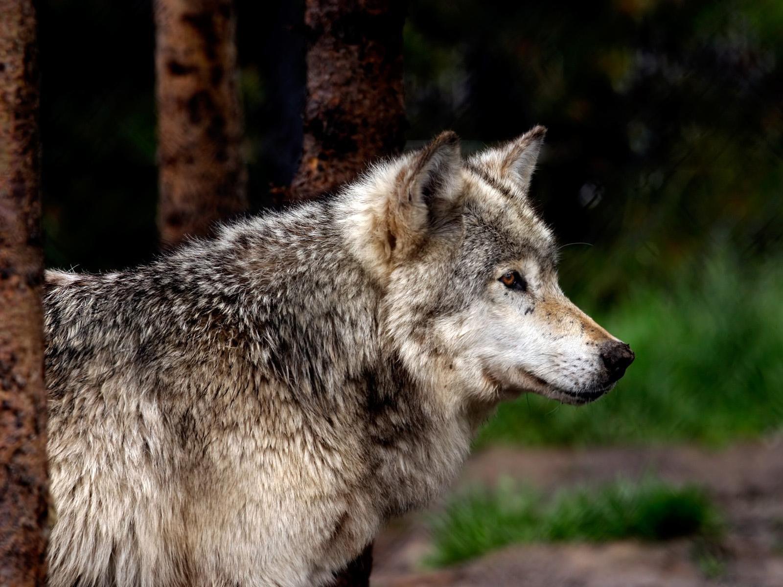 Картинка с надписью серый волк