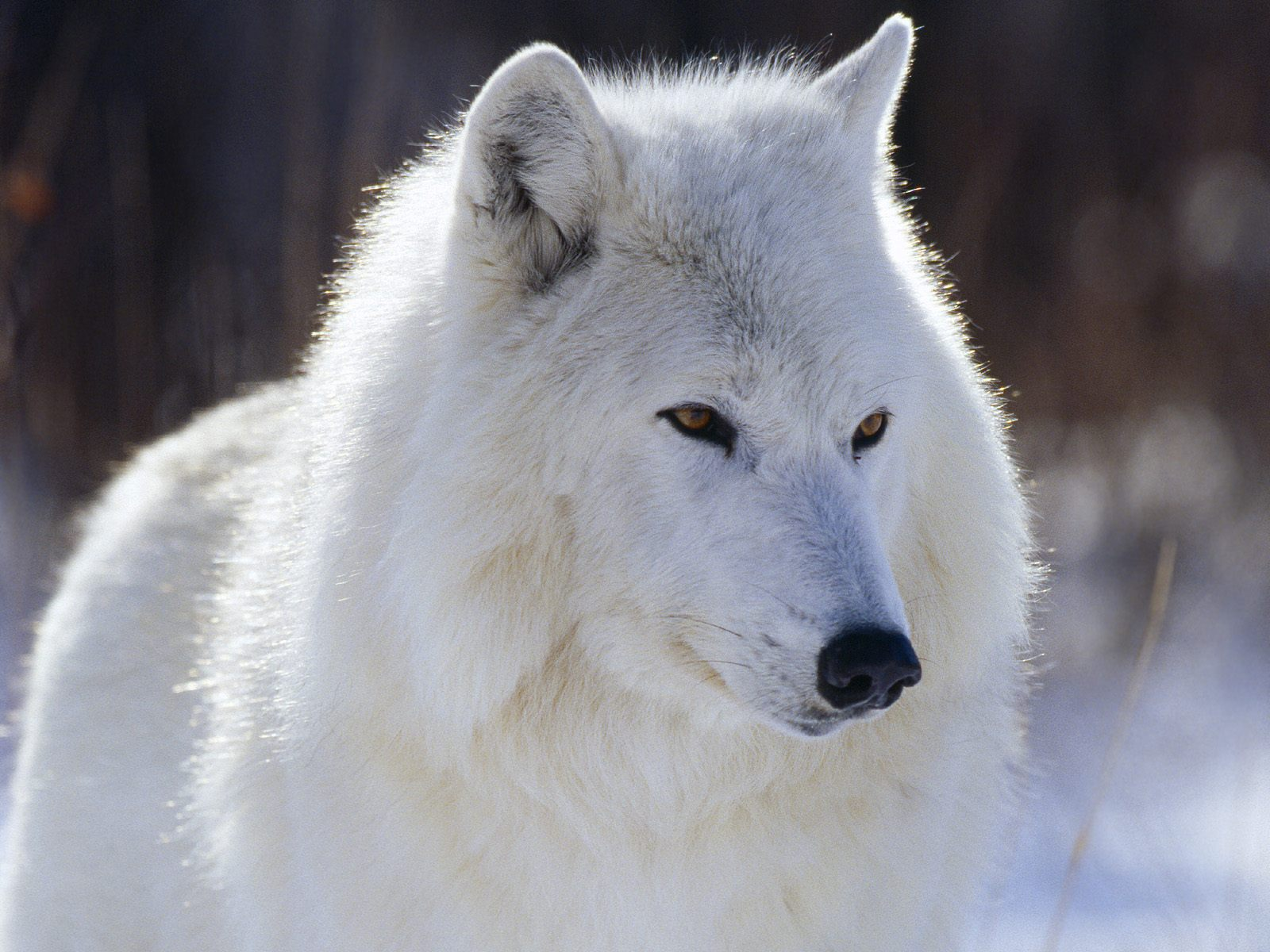 картинки про белый волк могут