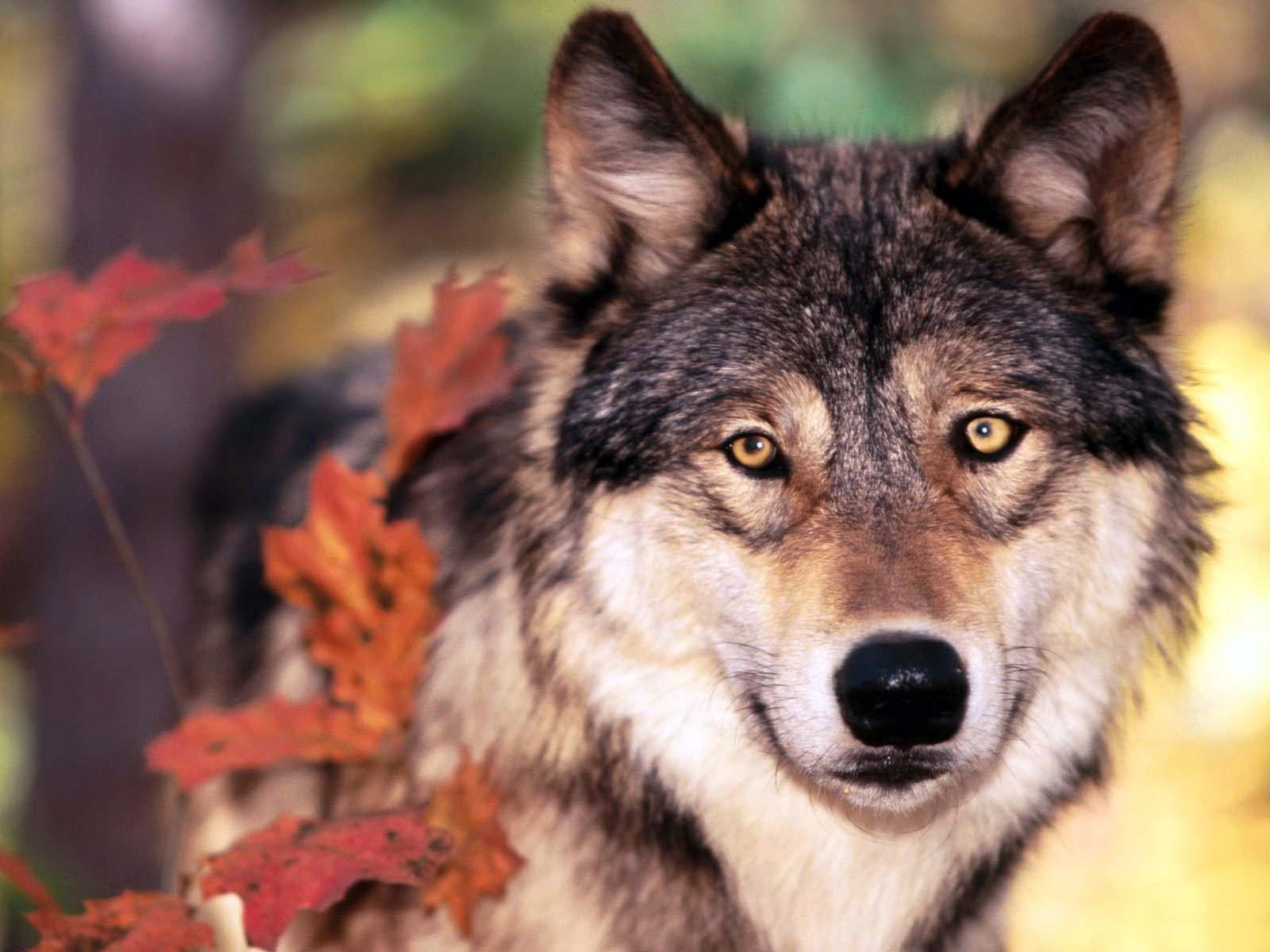 качественные картинки с волками нее редко