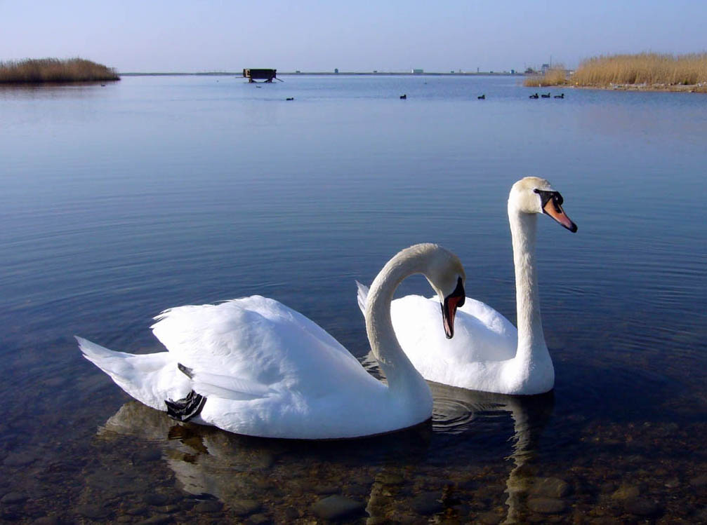 Картинки доброе утро лебеди