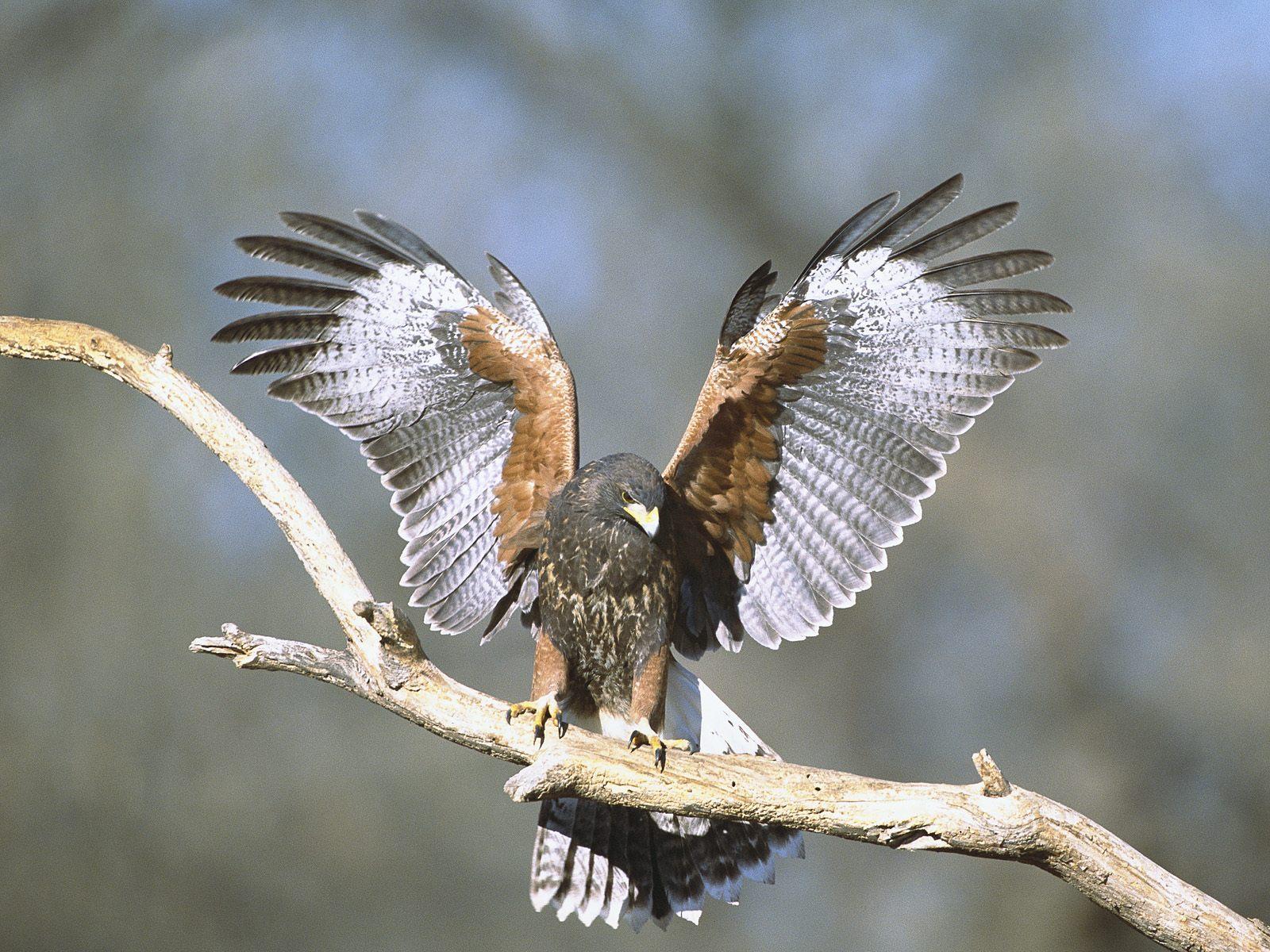 Фото птицы с распахнутыми крыльями