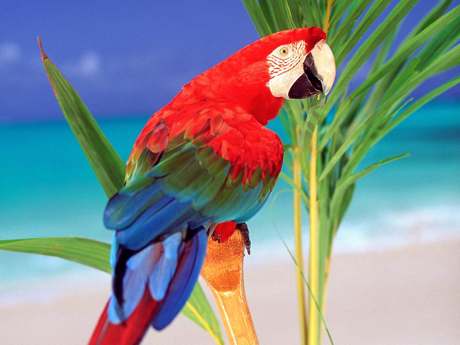В картинках попугая, своими