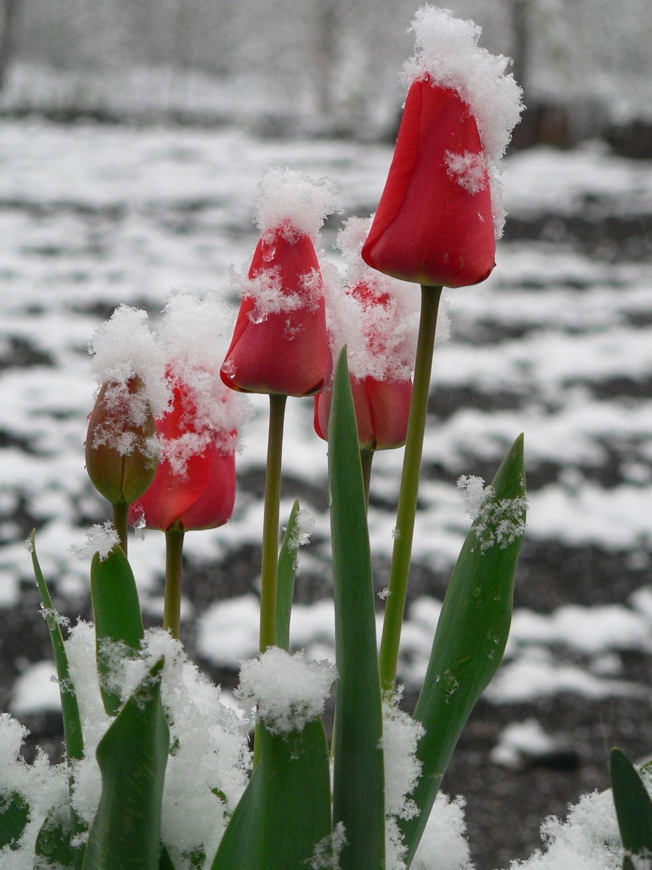тюльпаны зимой картинки заливались вообще