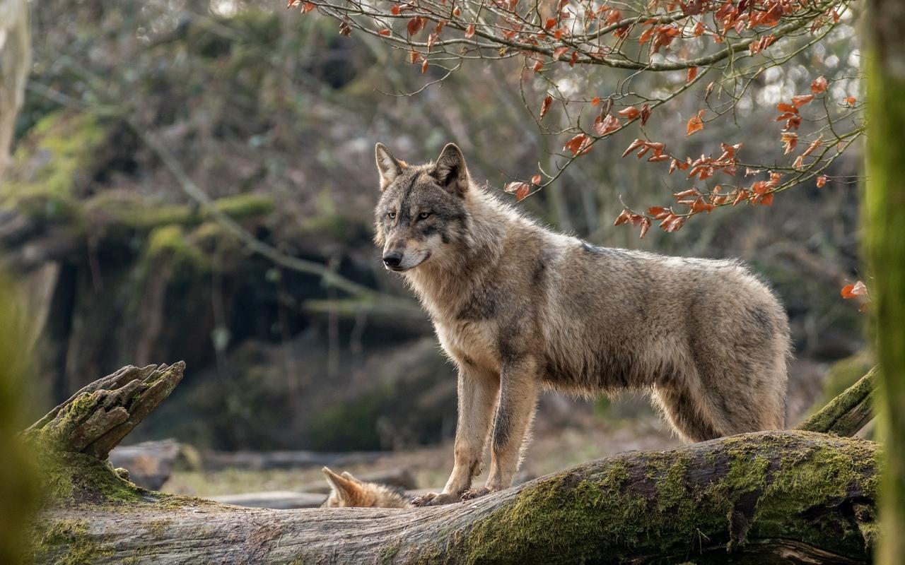 картинки волк высокое разрешение находится совсем недалеко