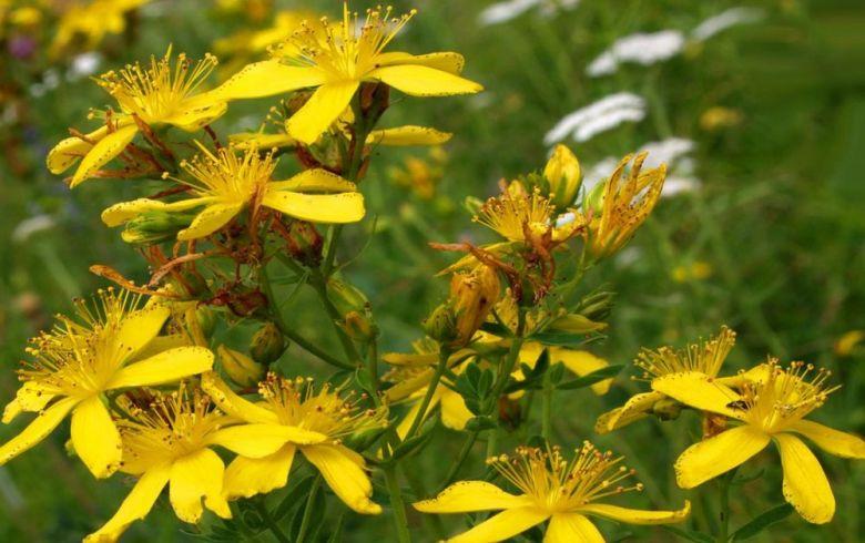 Зверобой трава - лечебные свойства и противопоказания